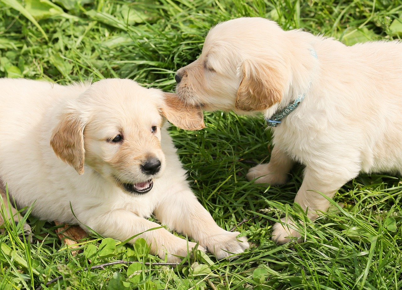 dogs, puppies, play
